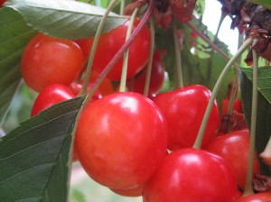 June Cherries by Gabriele Lange 2011